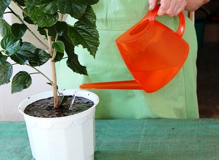 Китайская роза гибискус уход в домашних условиях - полив