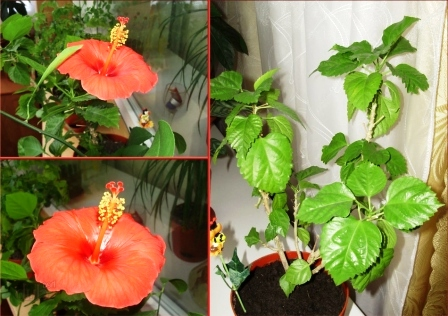 Китайская роза гибискус уход в домашних условиях
