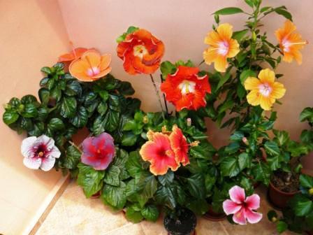 Гибискус Гибискус способен долгие годы радовать своих хозяев темно-зеленой блестящей листвой и крупными яркими цветами